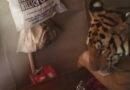 Հնդկաստանում «ջրհեղեղից փախած» էգ վագրը ապաստանել է բնակիչների տանը